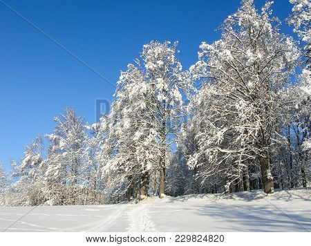 Winter Background. Frosty Branches Of The Winter Trees Against Blue Sky. Forest Winter Landscape Sce
