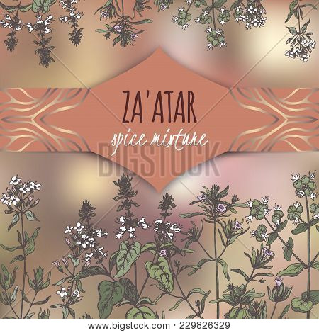 Zaatar Template With Syrian Oregano, Savory, Basil, Thyme Color Sketch. Culinary Herbs Collection. G