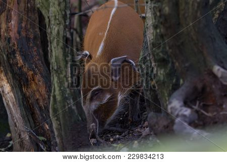 Photo Of A Red River Hog Feeding In The Woods