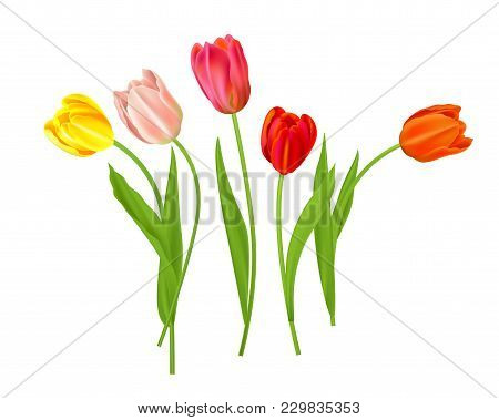 Realistic Vector Colorful Tulips Set. Spring Flowers Background. Bouquet Of Tulips Isolated With Pla