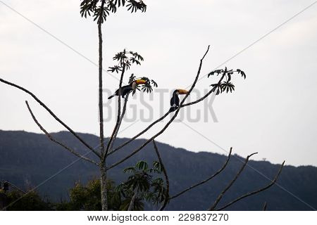 Toucans On A Tree In The Forests Of Tiradentes, Minas Gerais, Brazil