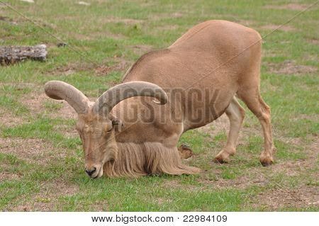Brown Bearded Goat Roaming In The Wild poster