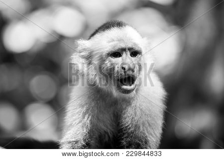 Monkey Resting In Rainforest Of Honduras. Capuchin With White Head Fur. Primate In Jungle On Sunny D