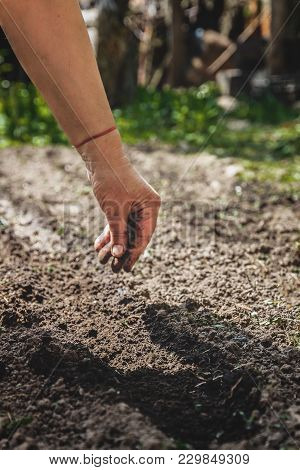 The Hand Of An Elderly Woman Pours The Earth On Sowing. The Concept Of Gardening, Life On Earth, Sty