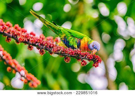 Rainbow lorikeet bird parrot eating flower buds off tree branch in nature wilderness park in Sydney, Australia. Colorful australian birds.