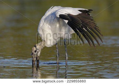 Wood Stork (mycteria Americana) Feeding In A Shallow Lagoon - Pinellas County, Florida