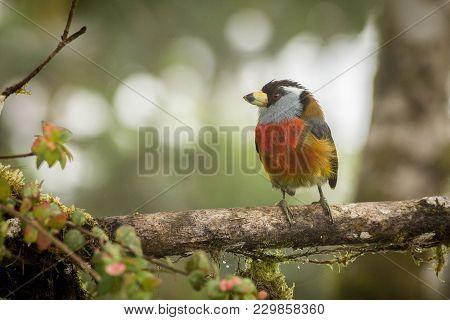 Toucan Barbet, Semnornis Ramphastinus, Bellavista, Ecuador, Exotic Grey And Red Bird, Wildlife Scene