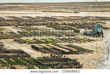 Harvesting Oysters On Farm At Low Tide In Cancale, Brittany, France