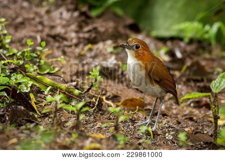 Standing Plain-backed Antpitta, South America, Ecuador. Wildlife Scene From Nature.  Animal In The N