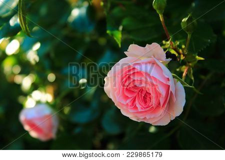 Delicate Pale Pink Roses On Blured Background. Beautiful Pink Rose On The Bushes. Roses In The Sun.