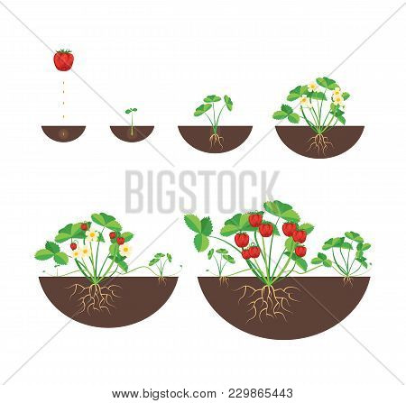 Cartoon Growth Stages Of Strawberries Icon Set Farm Summer Cycle Concept Flat Design Style. Vector I
