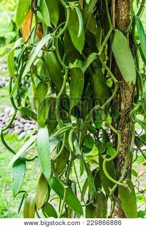 Vanilla (Vanilla planifolia) plantatnion in the Seychelles