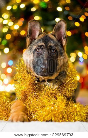 German Shepherd Dog At The Age Of 3 Months Lies On The Floor Near A Christmas Tree In Yellow Tinsel