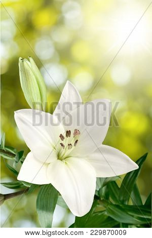 White Beautiful Lily Green Color Background Nobody