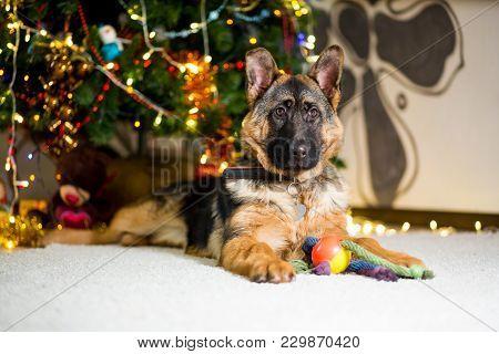 German Shepherd Dog Lies On The Floor Near The Christmas Tree