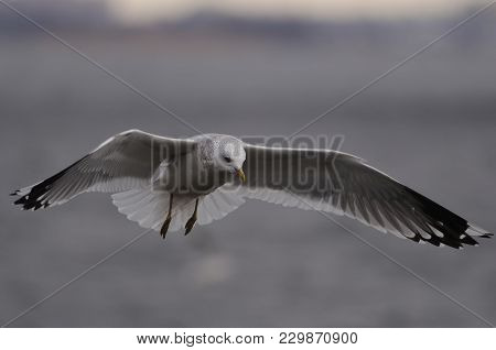Flying European Herring Gull (larus Argentatus) Spread Its Wings And Prepares To Sit On The Water.