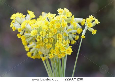 Bouquet Of Yellow Cowslip Flower (latin Name: Primula Veris)