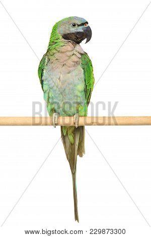Derbyan Parakeet On A Wooden Perch