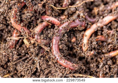 Macro Shot Of Red Worms Dendrobena In Manure, Earthworm Live Bait For Fishing