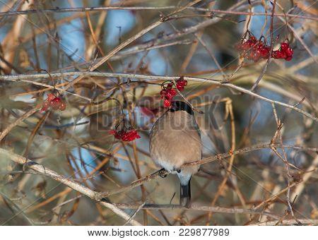 Eurasian Bullfinch Female Eating Viburnum And Sitting On The Branch Of The Bush