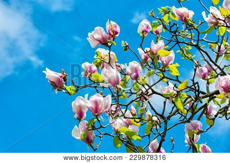 Spring Season Concept. Magnolia Tree In Blossom On Blue Sky. Flowers Blossoming With Violet Petals O