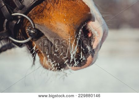 Winter Horse Portrait At Cold Day. Nose Close Up