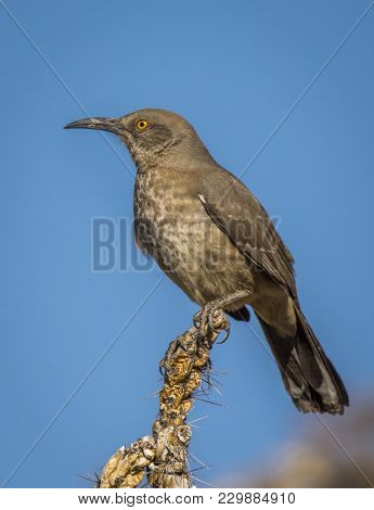 A Curve-billed Thrasher With Its Long Curved Sickle Type Bill, Perches At The Top Of A Cholla Cactus