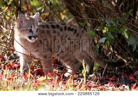 Baby Wild Cat, Known As A Cougar, Mountain Lion Or Puma With Autumn Foliage.