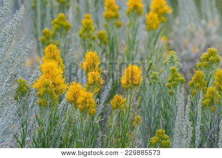 Yellow Wildflowers Grow In Grand Teton Field