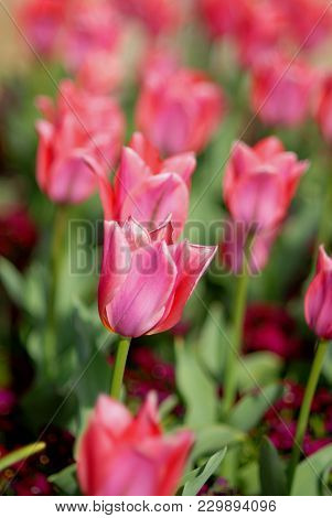 A Row Of All Pink Tulips Growing In A Public Garden From Kansas City, Missouri.