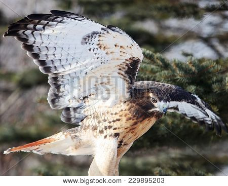 Close Up Image Of A Red-tailed Hawk With Its Wings Spread