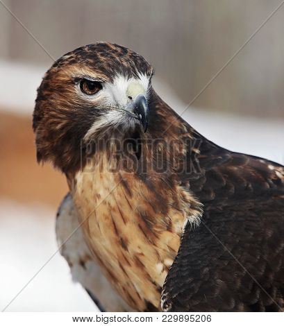 Close Up Head And Shoulders Image Of A Red-tailed Hawk