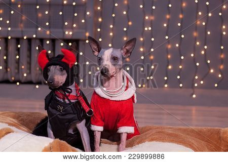Two American Hairless Terrier Is Sitting In A Beautiful Clothes On A Background Of Christmas Lights