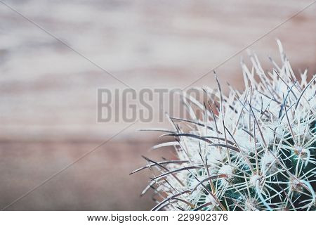Cactus Needles On Blurred Wooden Background, Top View. Blue-green Cactus With White-grey Long Needle