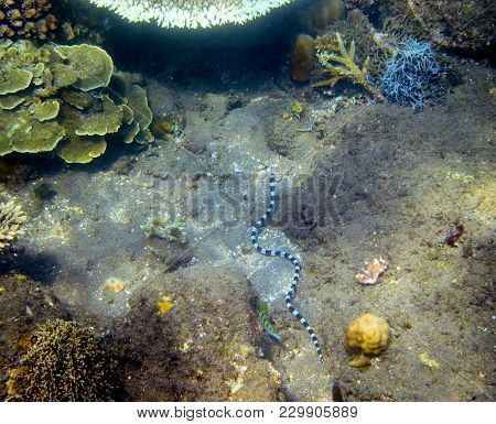 Krait Sea Snake Underwater Photo. Dangerous Marine Animal. Poisonous Sea Snake Swims In Shallow Wate