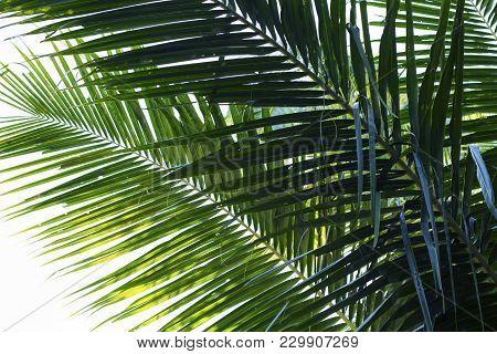 Coconut Palm Tree Leaf Vivid Toned Photo. Coco Leaf Closeup. Abstract Coco Palm Leaf Background. Gre