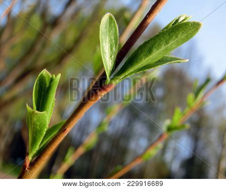 In Spring, The Young Buds Blossomed On The Branches Of Trees .