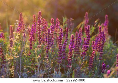 Beautiful Blooming Woodland Sage Flower Salvia Nemorosa Caradonna In Summer Morning Sunlight.
