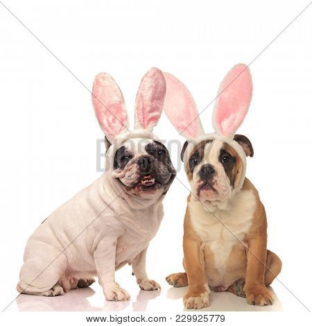 french and english bulldog dogs wearing bunny ears on white background