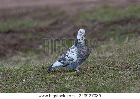 Pigeon. Dove. The Large Bird Genus Columba Comprises A Group Of Medium To Large Stout-bodied Pigeons