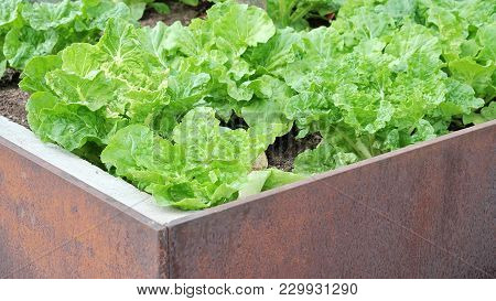 A Rusty Metal Box Of Lettuce Plant Growing In A Garden With Urban Gardening Idea