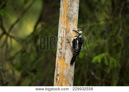 Dendrocopos Major. Finland. Karelia. Free Nature. Young. Bird On The Tree. Beautiful Picture. From B