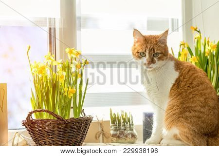 Morning Sunlight On The Red Cat. Cute Funny Red-white Cat On The Windowsill With Blossom Yellow Daff
