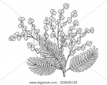Mimosa Flower Graphic Black White Isolated Bouquet Sketch Illustration Vector