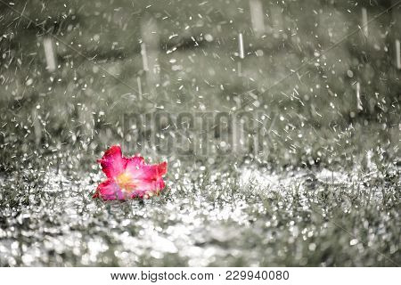 Soft Focus Of Close Up On Alone Pink Flower With Heavy Raining On Green Grass Field In Fresh Morning