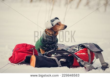 Funny Proud Dog, Dressed In A Coat And Winter Hat