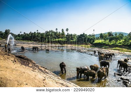 PINNAWALA, SRI LANKA - DEC 25, 2016:Unidentified man splashes elephants that bathing in the rivernear Pinnawala on Dec 25, 2016. Sri Lanka is famous for Elephant Orphanage.