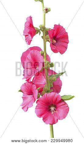 A Close Up Of The Red Flowers Of Mallow. Isolated On White.