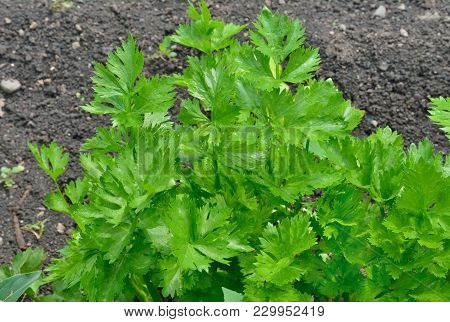 A Close Up Of The Plant Of Celery.