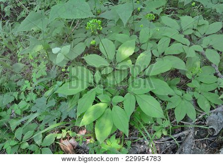 A Close Up Of The Wild Medicinal Plant Ginseng (panax Ginseng) With Green Berries.